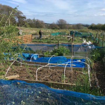 Allotment Holder Preparing Raided Beds
